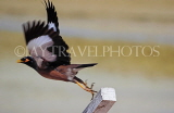 BAHRAIN, Mynah bird, taking off, BHR1389JPLA