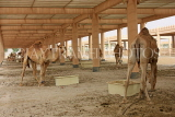 BAHRAIN, Royal Camel Farm, BHR3287JPL