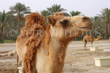 BAHRAIN, Royal Camel Farm, BHR329JPL