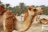BAHRAIN, Royal Camel Farm, BHR331JPL