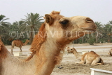 BAHRAIN, Royal Camel Farm, BHR332JPL