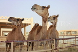 BAHRAIN, Royal Camel Farm, BHR333JPL