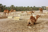 BAHRAIN, Royal Camel Farm, BHR341JPL