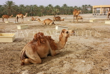 BAHRAIN, Royal Camel Farm, BHR342JPL