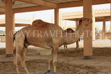 BAHRAIN, Royal Camel Farm, BHR343JPL