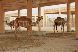 BAHRAIN, Royal Camel Farm, BHR344JPL