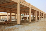 BAHRAIN, Royal Camel Farm, BHR345JPL
