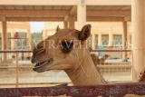 BAHRAIN, Royal Camel Farm, BHR346JPL