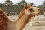 BAHRAIN, Royal Camel Farm, BHR347JPL