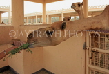 BAHRAIN, Royal Camel Farm, feeding camel, BHR335JPL