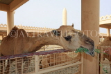 BAHRAIN, Royal Camel Farm, feeding camel, BHR337JPL