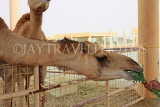 BAHRAIN, Royal Camel Farm, feeding camel, BHR338JPL