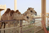 BAHRAIN, Royal Camel Farm, feeding camel, BHR339JPL