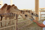 BAHRAIN, Royal Camel Farm, feeding camel, BHR340JPL