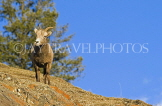 CANADA, Alberta, Jasper National Park, Rockies, young Bighorn sheep standing on rock, CAN756JPL