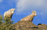 CANADA, Alberta, Jasper National Park, Rockies, young Bighorn sheep standing on rock, CAN757JPL