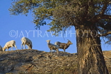 CANADA, Alberta, Jasper National Park, Rockies, young Bighorn sheep standing on rock, CAN761JPL