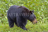 CANADA, British Columbia, Black bear, near the town of Stewart, CAN773JPL