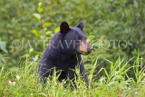 CANADA, British Columbia, Black bear feeding on grass near the Stewart, CAN767JPL