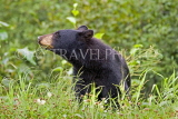 CANADA, British Columbia, Black bear feeding on grass near the town of Stewart, CAN768JPL