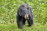 CANADA, British Columbia, Black bear feeding on grass near the town of Stewart, CAN769JPL