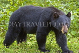 CANADA, British Columbia, Black bear feeding on grass near the town of Stewart, CAN770JPL