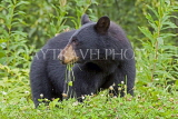 CANADA, British Columbia, Black bear near the town of Stewart, CAN772JPL