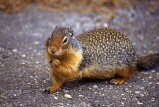 CANADA, British Columbia, Yoho National Park, Golden Mantled Squirrel, CAN544JPL