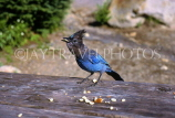 CANADA, British Columbia, Yoho National Park,birds, Stella Jay, CAN541JPLA