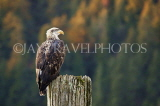 CANADA, British Columbia, young Bald Eagle perched on pole, CAN849PL