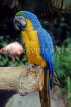 COSTA RICA, Blue and Yellow Macaw, CR107JPLA