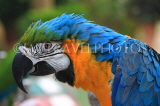 COSTA RICA, Blue and Yellow Macaw, closeup, CR139JPL