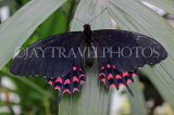 COSTA RICA, Red Crescent Swallowtail Butterfly, CR166JPL