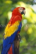 COSTA RICA, Scarlet Macaw perched on branch (red, yellow and blue), CR81JPLA