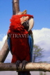COSTA RICA, Scarlet Macaw perched on branch (red and blue), CR111JPL