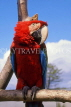 COSTA RICA, Scarlet Macaw perched on branch (red and blue), CR111JPLA