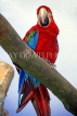 COSTA RICA, Scarlet Macaw perched on branch (red and blue), CR112JPLA