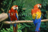 COSTA RICA, Scarlet Macaws perched on branch (red, yellow and blue), CR76JPLA