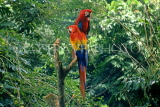 COSTA RICA, Scarlet Macaws perched on branch (red, yellow and blue), CR79JPL