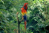 COSTA RICA, Scarlet Macaws perched on branch (red, yellow and blue), CR79JPLA