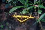 COSTA RICA, Swallow Tail Butterfly, CR85JPL