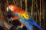 COSTA RICA, birdlife, Scarlet Macaw (red,yellow,blue), CR88JPL