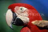 COSTA RICA, birdlife, red Macaw, closeup, CR82JPLA