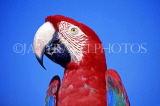 COSTA RICA, birdlife, red Macaw, closeup, CR87JPLA