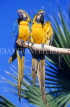 COSTA RICA, birdlife, two Macaws, CR84JPLA