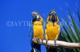 COSTA RICA, birdlife, two yellow Macaws, CR81JPLA