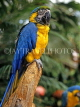 COSTA RICA, birdlife, yellow Macaw, CR83JPLA