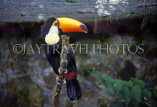 COSTA RICA, birdlife, yellow billed Toucan, CR78JPLA