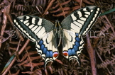 FRANCE, Provence, Swallowtail Butterfly, FRA979JPL