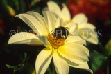 France, PARIS, Jardin Des Plantes, Bee on white Dahlia, FRA2089JPL
